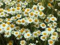 (1)chamomile