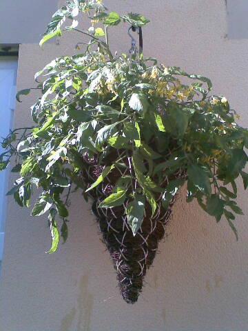 (1)1conetomatoes