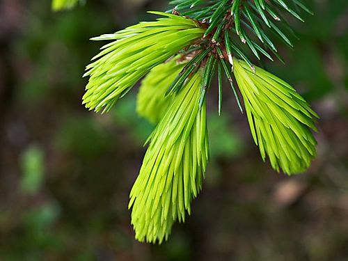 (1)1picea_sitchensis_benthams_sunlight