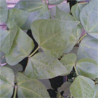 (1)1aspeedybean4