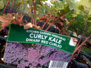 KALE MORE THAN JUST CATTLE FEED