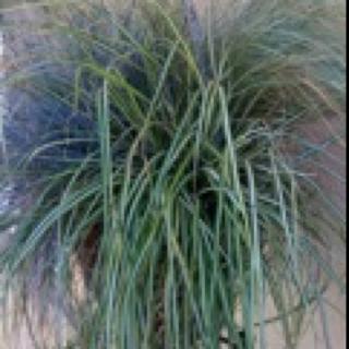 WINTER GRASSES FOR AUTUMN INTEREST