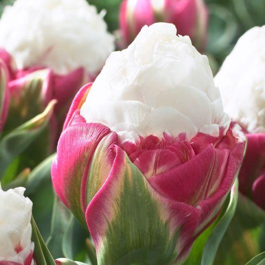 tulip ice cream summer memories in spring yardz. Black Bedroom Furniture Sets. Home Design Ideas