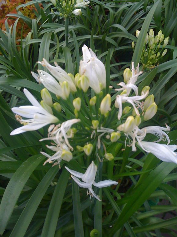 AGAPANTHUS IS ALL WHITE