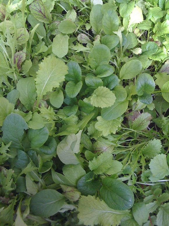 FIRST SALAD LEAVES