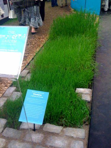 (1)1aaaaawheatgrass