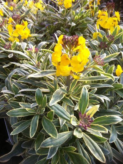 Wallflower Fragrant Star