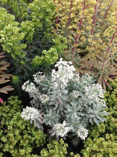 Euphorbia2
