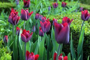 Tulip Greuze